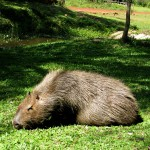 capybara1