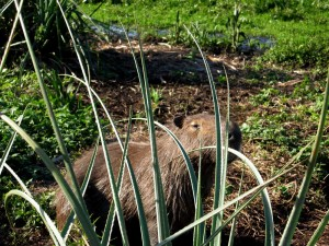 capybara2