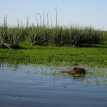 capybara3