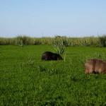 capybara4